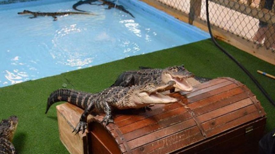 Kiss-A-Gator-Alligator-Attraction-Photo-Gallery-Gators-Playing