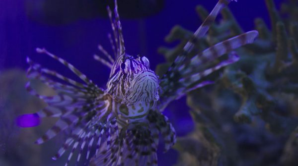 Kiss-A-Gator-Alligator-Attraction-Photo-Gallery-Majestic-Lion-Fish